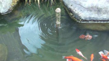 米田地区の池、鯉、金魚